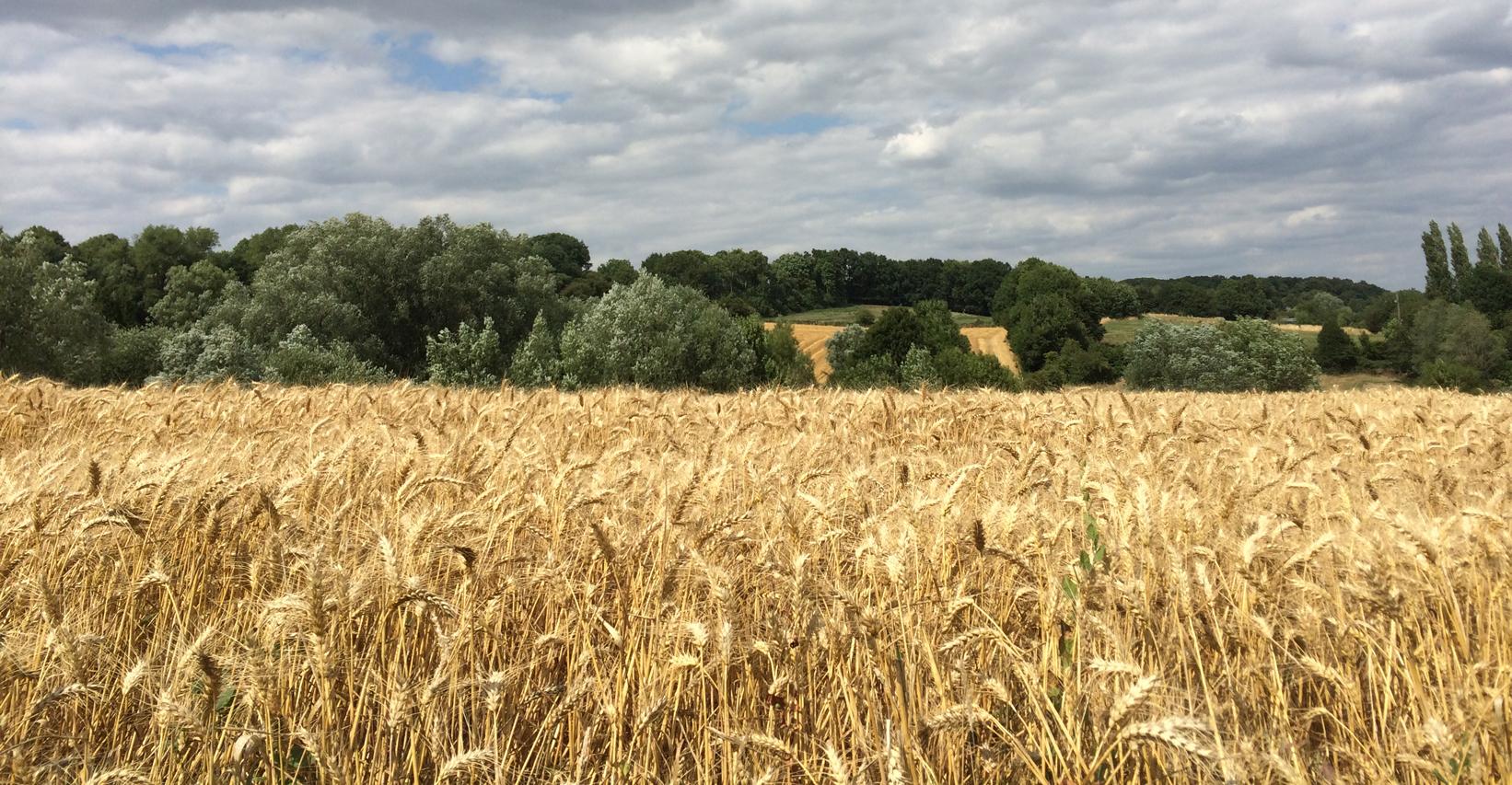 Tarwevelden en landschap - Tineke Vanheule